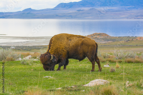 Fotobehang Natuur Park Buffalo Eating