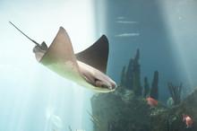 Skate Fish Swimming In Water. ...