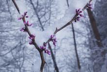 Fresh Snow On A Budding Redbud...