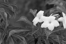 Flowers Of Cerbera Odollam - Black And White