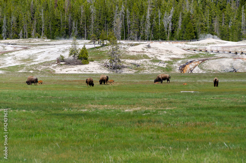 Aluminium Prints bison in Yellowstone National Park