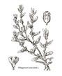 Vector images of medicinal plants. Detailed botanical illustration for your design. Aviculare
