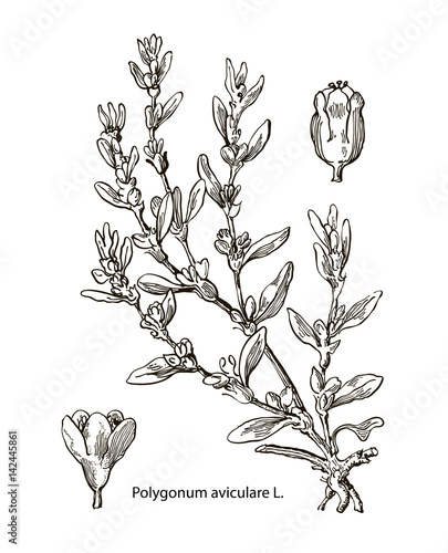 Fototapety, obrazy: Vector images of medicinal plants. Detailed botanical illustration for your design. Aviculare
