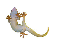 Reptile On White Background