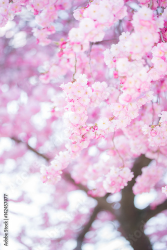 Photo Stands Spring Cherry Tree