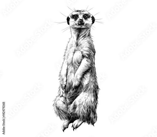 Vászonkép meerkat standing on its hind legs and looking forward, sketch vector graphics bl