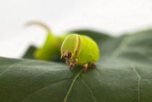 Green Caterpillar Eats A Leaf ...