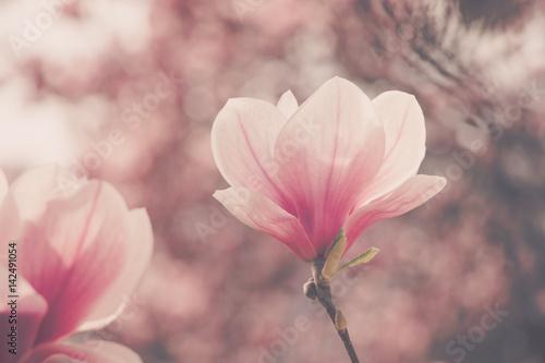 Spoed Foto op Canvas Bar Rosa Magnolienblüten im Frühling