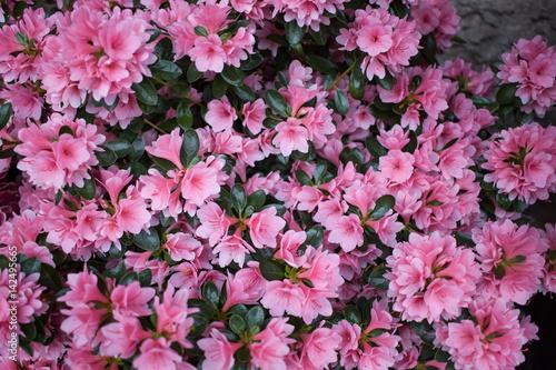 Azalea flowers. Floral background