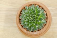 Clay Pot Of Sempervivum - Suc...