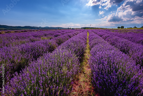 Fototapeta Daily cloudy landscape with lavender in the summer at the end of June. Contrasting colors, beautiful clouds, dramatic sky. obraz na płótnie
