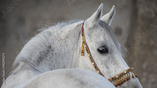 Foto op Plexiglas Paarden Gray arabian horse head closeup on light background isolated