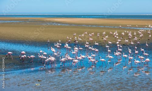 Garden Poster Flamingo Flock of flamingos at Walvis Bay, Namibia