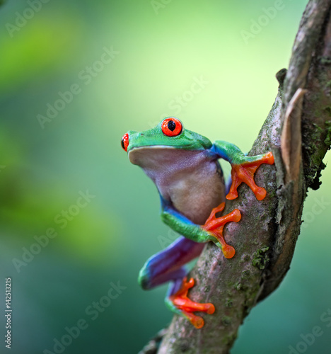 Photo sur Aluminium Grenouille Red eyed tree frog, Agalychnis callydrias ready to jump. A tropical animal from the rain forest of Costa Rica