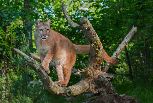 af5f2302503a Adult Female Cougar (Puma concolor) Stands in Branches - Buy this ...