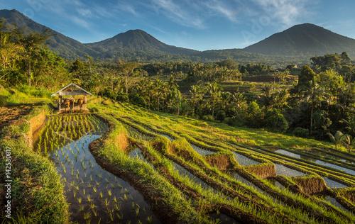 Poster Rijstvelden Rice Field Farming