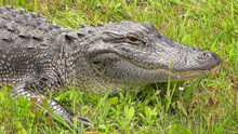 American Alligator Along Pinta...
