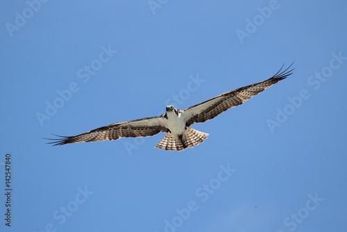 Sticker - Osprey (pandion haliaetus)