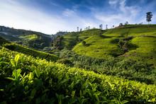 Lush Tea Plantations In Central Hills Of Nuwara Eliya, Sri Lanka.