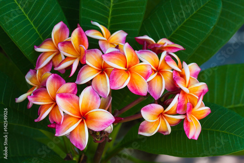 In de dag Frangipani Plumeria flowers, natural tree