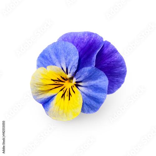 In de dag Pansies Pansy viola flower