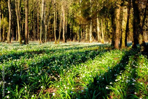 Fotobehang Bossen Spring snowflake flowers (Leucojum vernum) blooming in sunset. Early spring snowflake flowers in march. First flowers in springtime. Closeup of white spring snowflake in the forest.
