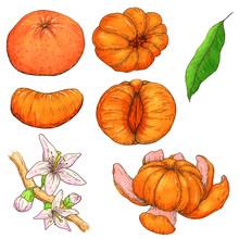 Set Of Hand Drawn Mandarine. Whole, Sliced Pieces, Half, Leaf And Seed Sketch. Tropical Summer Fruit Engraved Vintage Style Illustration. Design Elements For Branding Package, Textile.