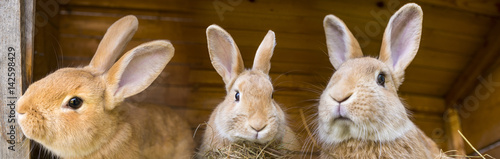 Canvas Print rabbits in a hutch