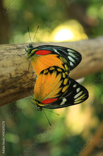 Fotografie, Obraz  Close up Monarch butterfly breeding