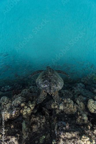 Papiers peints Recifs coralliens Turtle in cove