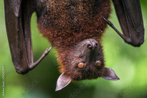 Photo Large Malayan flying fox close-up portrait