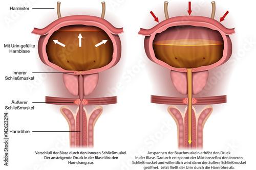 Anatomie der Harnblase, Harndrang vector illustration – kaufen Sie ...