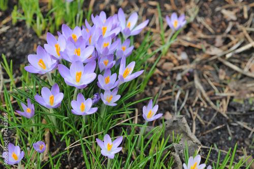 Außergewöhnlich Krokus, Krokusse, Blüte, Crocus, Garten, Schwertlilien, Frühblüher #WO_61
