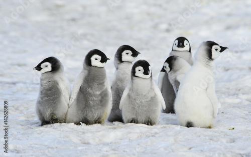 Photo sur Toile Pingouin Emperor Penguins chicks