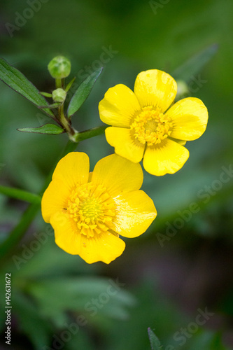 Common or meadow  buttercup (Ranunculus acris) pair of flowers on a summer meadow Canvas Print
