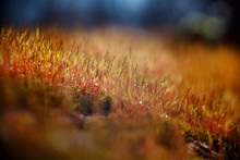 Macro Morning Dew On Moss And ...