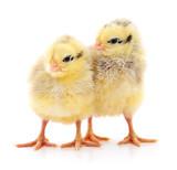 Fototapeta Zwierzęta - Two yellow chickens.