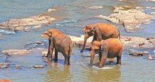 Small Elephants Herd With Thre...