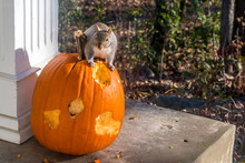 A Little Squirrel Is Eating A Big Pumpkin