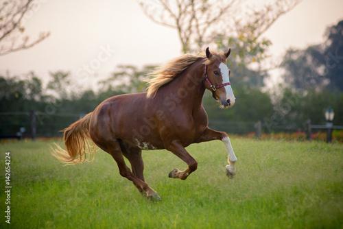Cuadros en Lienzo beautiful horse galloping on field on a sunshine day