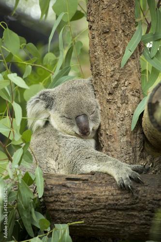 Staande foto Koala Australian koala bear sitting on a branch
