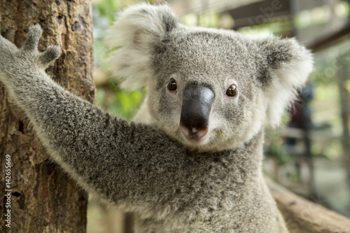 Australian koala bear sitting on a branch