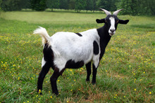 Black And White Goat On Grass Meadow