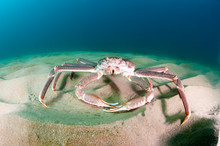 Snow Crab (opilio Crab) On The...
