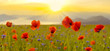 Red poppy field in the light of the rising sun