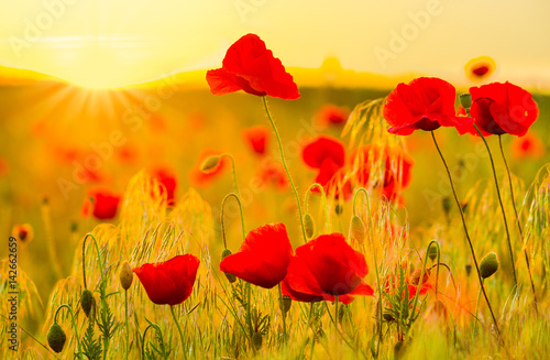 red-poppy-field-in-the-light-of-the-rising-sun