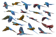 Macaw Flying On White Background