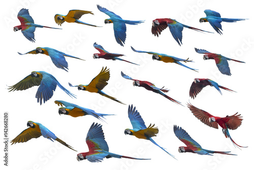 Macaw flying on white background Poster