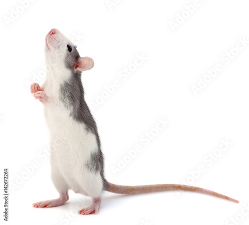 Cute little decorative rat standing on the back of the paws..