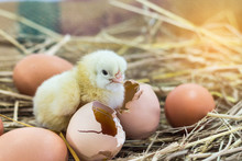 Easter Baby Chicken With Broken Eggshell In The Straw Nest On The Morning.